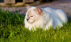 Oscar Wilde (pettersson.pontus) Tags: lund cat skne sweden sverige ragdoll katt nikond7000 tamronsp70300mmf456divcusd
