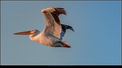 American White pelican (soumik_mukherjee) Tags: nikon sigma d500 150600sports 150600 150600mm florida wildlife birds dingdarling photography bird 150600mmf563dgoshsm|s