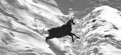 Camosci22 (Lunghefocali.snc) Tags: camoscio rupicaprarupicapra dolomiti valdifiemme trentino altamontagna biancoenero wildlife nature blackwhitephotos
