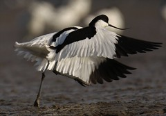 Avocet  (Recurvirostra avosetta) Take off  (Also known as Pied Avocet) (GrahamParryWildlife) Tags: pied avocet wading wader water black white grahamparrywillife canon 7dmk2 sigma sport 150600 kentwildlife bird animal outdoor grahamparrywildlife