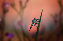 Here comes the night (S'uhas [ BAT out of HELL ]) Tags: arifgraphy bangladesh kishoregonj tamni micro macro insect robberfly sunset dusk nature nikond300 nikonmicro105mmf28