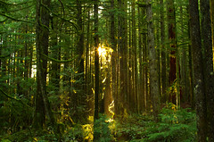 Sunlit (Kristian Francke) Tags: forest nature bc natural pentax outdoors canada british columbia green tree trees moss plant plants growth second vertical lines sun sunlight rays february 2017