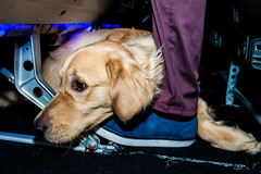 Guide Dogs for the Blind 7 (NickRoseSN) Tags: guidedogsfortheblind guidedogs dogs virginamerica alaskaairlines airline burlingame sanmateocounty sanmateo sanfrancisco sf sfo sfoairport sanfranciscoairport sanfranciscointernationalairport sfbayarea bayarea california ca
