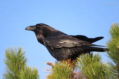Common raven (Corvus corax) / Ворон. (Vitaly Giragosov) Tags: corvuscorax raven sevastopol sx50hs songbird crimea canon севастополь крым ворон rf