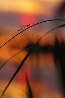 Agrion aux derniers feux du soleil