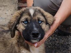 Голубоглазый пёс в Тибете