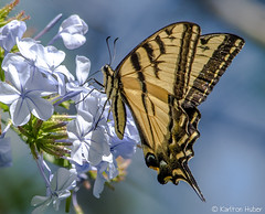 Swallowtail - 8407 (www.karltonhuberphotography.com) Tags: park summer flower nature beautiful butterfly colorful details nectar southerncalifornia delicate graceful naturalworld swallowtail swallowtailbutterfly 2014 pollination nikond7000 karltonhuber