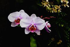 Longwood Gardens #14 (mp13 nhnc) Tags: flowers orchids longwoodgardens kennettsquarepa nikond40