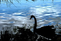 Swan in shadow, New Zealand (MYSPhotography) Tags: newzealand nature swan auckland manurewa blackswan aucklandbotanicalgardens pinnaclephotography