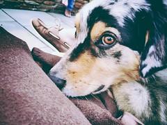 Brady (: #aussie #australian #shepherd #blue #merle #bady #dog #lying #eyes #goodboy (altemosekatie) Tags: blue dog eyes shepherd australian aussie lying merle bady goodboy