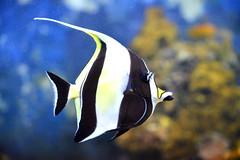 Black, White and Yellow (pringle-guy) Tags: fish london animals nikon sealife londonaquarium