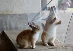 Licking the raindrops off my brolly (akika8) Tags: bunnies rabbits usagi rabbitisland  okunoshima okunojima kunoshima japantrip14day4