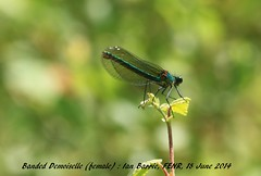 Banded Demoiselle_female FENR 012