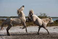 Camargue Horses (Chris @ Didcot) Tags: horses france stallion camargue saintesmariesdelamer whitehorses oceancapture