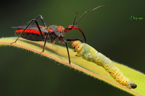 มวนเพชฌฆาต / Assassin bug in Reduviidae family