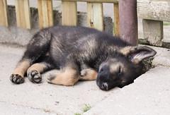 Mittagsschlaf (blumenbiene) Tags: dog dogs puppy puppies shepherd linie line hund german ddr hunde deutscher welpe schäferhund welpen