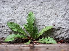 Arm Krutchen (wolfgraebel) Tags: plants green wet leaves rain wall germany mnchen deutschland pflanzen dandelion sidewalk german rough grn bltter unten regen deutsch mauer nass bristly gehsteig ringelnatz hawkbit nunich mauerspalt