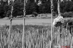 Reed (tomyjezura) Tags: blackandwhite bw plant detail reed nature field landscape stem nikon artistic cluster grow meadow dry kola dovolen kunratice rkos chibsk naturemasterclass nikonflickraward vanagram nikond7000 tomasfotografcz