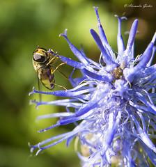 Syrphe butinant (alexandre_gerber) Tags: voyage annecy nikon jour 60mm insecte macrophotographie nikoniste d7100 proxyphotographie