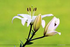 Lilium (ArvinderSP) Tags: flowers india green photography nikon background bud lilium newdelhi 2014 554 natureupclose arvindersingh againstgreen arvindersp arvinderspcom