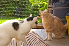 IMGP9462 (frankbehrens) Tags: cats tom cat chats kitten chat gatos gato katze katzen kater