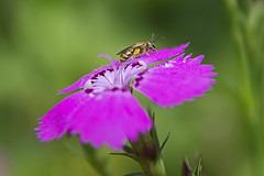 Bee & Dianthus in Summer( ) (Johnnie Shene Photography(Thanks, 1Million+ Views)) Tags: flowers wild summer plants plant flower macro nature horizontal closeup canon bug insect lens outdoors photography eos rebel living fly dc kiss purple outdoor wildlife bees sigma insects bugs bee flies dianthus 1770 freshness t3i x5 chinensis organism   fragility 284   600d  1770mm  dianthuses f284
