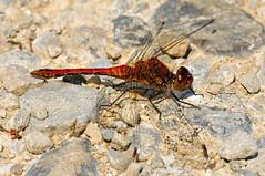 Ruddy Darter- Sympetrum sanguineum (linanjohn) Tags: uk macro nature wildlife insects lincolnshire odonata rimac libellulidae ruddydarter sympetrumsanguineum saltfleetbytheddlethorpedunesnnr