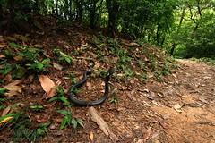 Naja atra (Chinese cobra) (Kevin Messenger) Tags: china canon hongkong dangerous kevin wildlife 7d messenger poisonous lantauisland venomous herpetology atra 2014 naja najaatra kevinmessenger