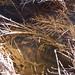 Tetragnathidae? Long-jawed orb weaver DSCF1608