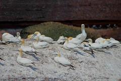 Fou de Bassan / Northern gannet (deplour) Tags: island bonaventure îles nests northerngannet nids foudebassan