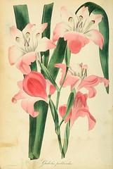 Gladiolus pudibundus - 1836