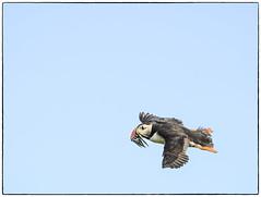 Fast Food (ilkleymoorbahtat) Tags: sky bird nature animal flying wildlife naturalhistory inner puffins nationaltrust farne sandeels farnes2014