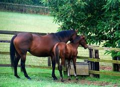 Baralinka & her 2014 Sepoy colt foal (Sentinel) (Carine06) Tags: horse foal thoroughbred kirtlingtonstud oxfordshire eliteracingclub colt baralinka sepoy sentinel racehorse