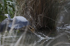 White-faced Heron (blachswan) Tags: water australia victoria splash ballarat whitefacedheron birdinflight lakewendouree