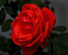 Beauty of a Rose (20140816-124754-PJG) (DrgnMastr) Tags: roses coth allrightsreserveddrgnmastrpjg diamondclassphotographer flickrdiamond naturesspirit damniwishidtakenthat naturescreations newenvy hennysgardens dmslair sunshinegroup jadensgarden grouptags pjgergelyallrightsreserved