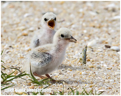 Tern chick drops food (Mike Black photography) Tags: ocean new wild food beach birds lens is big sand year super aves chick telephoto shore jersey l usm f56 belmar least tern birdwatching 800mm