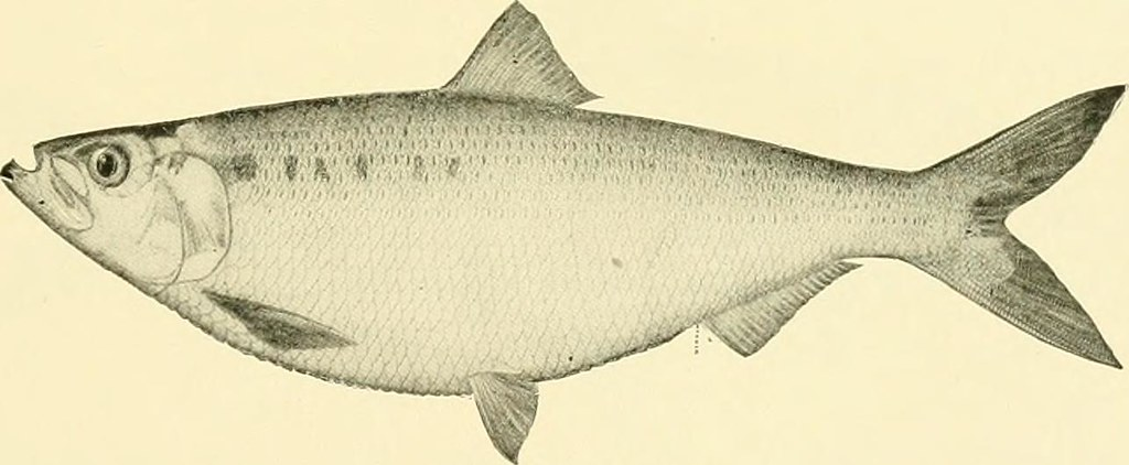 "Image from page 63 of ""The food and game fishes of New York:"" (1903)"