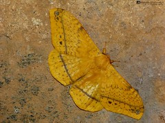 Yellow giant moth..