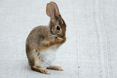 Rabbit 1 (Largeguy1) Tags: rabbit nature animal canon lens mark iii 150 600 5d approved mm tamron