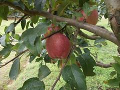 Malus communis Starking Delicious (douneika) Tags: delicious communis malus rosaceae starking