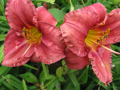 Coral day lilies