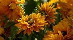 ... (Harald Steeg) Tags: mixedflowers naturesplus flowersarebeautiful excellentsflowers mimamorflowers flickrflorescloseupmacros ffaunayfloradelmundo