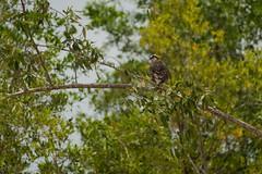 Osprey (Pandion haliaetus) (Jan Ranson) Tags: vogels osprey suriname reizen 2014 pandion haliaetus commewijne visarend neotropics