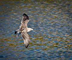 1 gull, coming in for a landing (poppiness) Tags: santacruz seagull birdinflight schwanlake