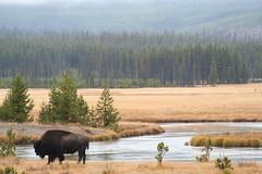 Anglų lietuvių žodynas. Žodis European bison reiškia stumbras lietuviškai.