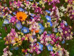 Flower Garden Using Rice Field (izunavi) Tags: flower japan  ricefield izu flowergarden    matsuzaki   matsuzakitown  izunavitwitter izuphoto flowergardenusingricefield
