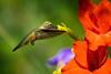Happy Hummingbird (Robin-Wilson) Tags: flower female garden backyard colorado hummingbird feeding wildlife summertime gladiola broadtail 13200sec 14teleconverter nikond800 beautiesbeasts