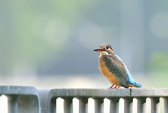 DSC_4044_01 (khcheungkinhung) Tags: bird kingfisher