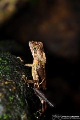Sri Lanka Kangaroo Lizard (Tstudioz) Tags: rainforest lizard wetlands reptiles rainydays epidemic illusive srilankawildlife kangaroolizard bodhinagala amazingsrilanka