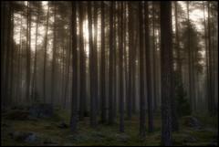 Trollskogen (Jonas Thomn) Tags: panorama fog forest moss stones skog hdr mossa dimma stenar 4exp 5ex trollskogen